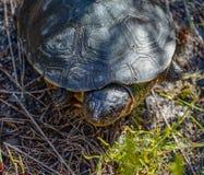Водяная черепаха накидки Стоковые Изображения