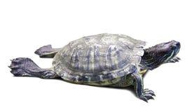 Водяная черепаха пруда slider Изолировано над белизной Стоковые Фотографии RF