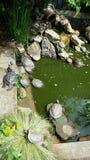 Водяные черепахи уснувшие в солнце Стоковые Фотографии RF