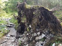 Впечатляющее выкорчеванное дерево стоковые изображения rf