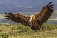 Впечатляющий хищник Griffon, fulvus Gyps, от Кастили-Ла Mancha зоны в Испании стоковое фото