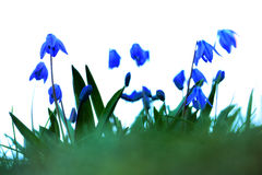 Впечатление Bluebell стоковая фотография
