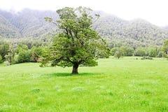 Впечатляющее дерево растя на луге, Новой Зеландии Стоковые Изображения RF