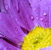 Впечатляющий цветок с падением воды в взгляде макроса Стоковое Фото