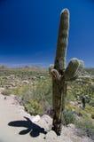 Впечатляющий Saguaro на следе парка пика башенкы Стоковая Фотография