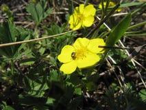 Вползать жука бронзовый на желтом цветке весны в лесе на солнечный день стоковое изображение