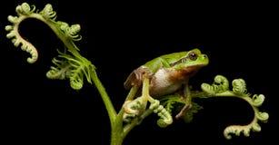 вползая европейский вал ночи лягушки Стоковые Фотографии RF