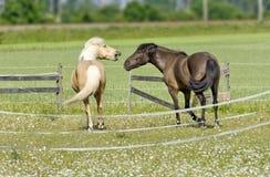 2 враждуя лошади Стоковое Изображение RF