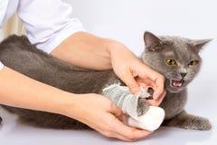 Врачуйте и великобританский кот на белой предпосылке Стоковые Фото