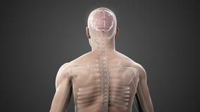 Вращаясь тело с видимыми мозгом и скелетом иллюстрация вектора