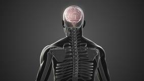 Вращаясь тело с видимыми мозгом и скелетом бесплатная иллюстрация