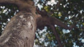 Вращение вокруг огромного дерева под кроной листьев на предпосылке неба и bokeh видеоматериал
