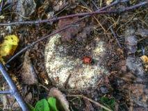временя съемки гриба макроса hallucinogen agaric Стоковое фото RF