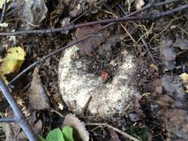 временя съемки гриба макроса hallucinogen agaric Стоковые Фото