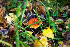 временя съемки гриба макроса hallucinogen agaric Стоковые Изображения