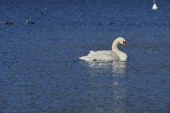 Время ванны для лебедя Стоковая Фотография