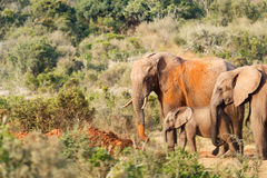 Время ванны песка для семьи слона Стоковые Фотографии RF
