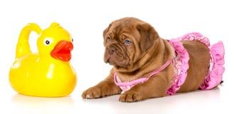 Время ванны собаки Стоковая Фотография RF