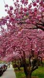 Время весны вишневого цвета Стоковая Фотография RF