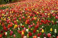 время весны Голландии Стоковое Фото