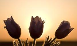 время весны цветка крокуса Стоковая Фотография