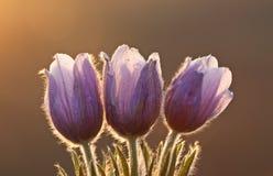 время весны цветка крокуса Стоковое фото RF
