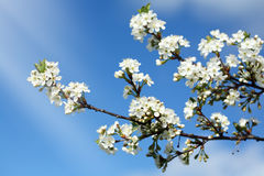 время вишни цветения Стоковое Фото
