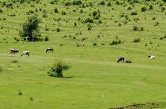 Время выгона табуна коровы весной на луге, городке Zavet Стоковые Изображения
