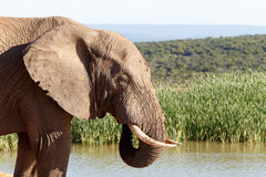 Время грязи - слон Буша африканца Стоковое Фото