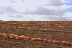 Время для сбора, длинных строк тыкв на поле Стоковые Фото