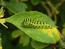 время дня гусениц бабочек Стоковые Фото
