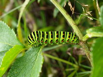 время дня гусениц бабочек Стоковые Изображения RF