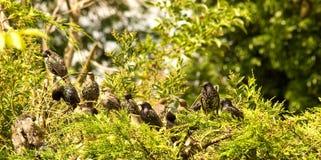 Время качества, группа в составе семьи Starlings. Стоковые Фотографии RF