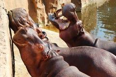 Время кормления ` бегемота стоковое изображение