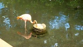 Время кормления фламинго Стоковая Фотография