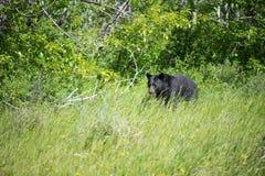 Время кормления для черного медведя Стоковые Изображения RF