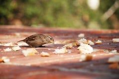 Время обедающего воробья Стоковая Фотография