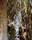 Время обеда для жирафа Стоковое Фото