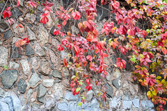 Время осени Одичалые виноградины на каменной стене замка Стоковая Фотография