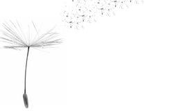 Время одуванчика дуя одуванчик осеменяет ветер Ветер надувает одуванчик Скопируйте космос в праве иллюстрация штока