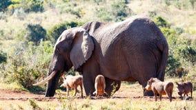Время партии - слон Буша африканца Стоковая Фотография