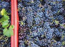 Время сбора, стог свежих черных виноградин, зона Chianti, Тоскана, Италия стоковое изображение rf