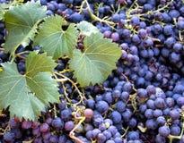Время сбора, стог свежих черных виноградин, зона Chianti, Тоскана, Италия стоковое фото