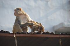 Время семьи обезьяны Стоковое Изображение