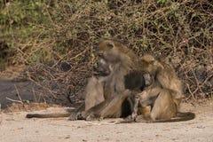 Время семьи павиана Стоковое фото RF