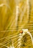 Время хлебоуборки Стоковое Изображение