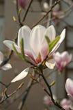 Время цветения магнолии весной стоковое фото rf