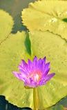 Время цветеня лотоса свет средний-вечера Стоковое Изображение