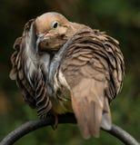 Время для оплакивая голубя прихорашиваться Стоковое Изображение RF