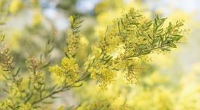Время Sring в Австралии с цветками wattle Стоковые Изображения